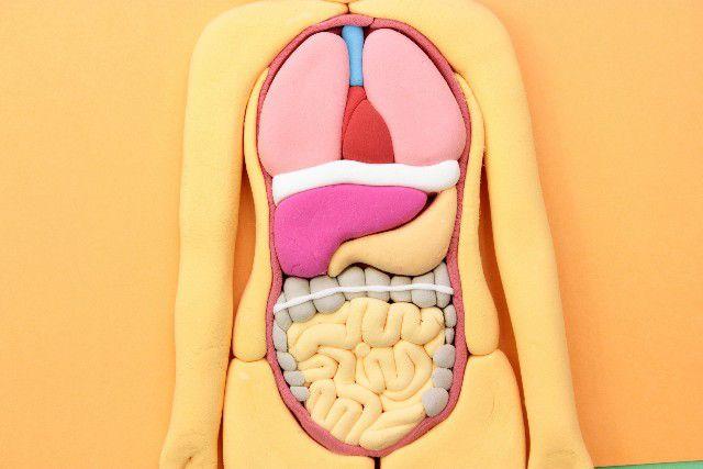 人体模型の腸内