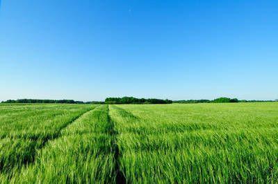 畑に大麦若葉が生えている